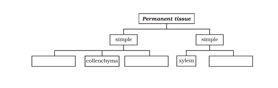Permanent Tissues