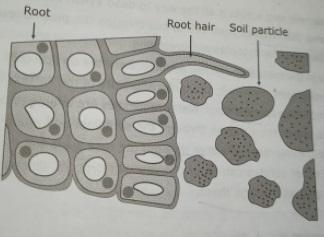 root hair